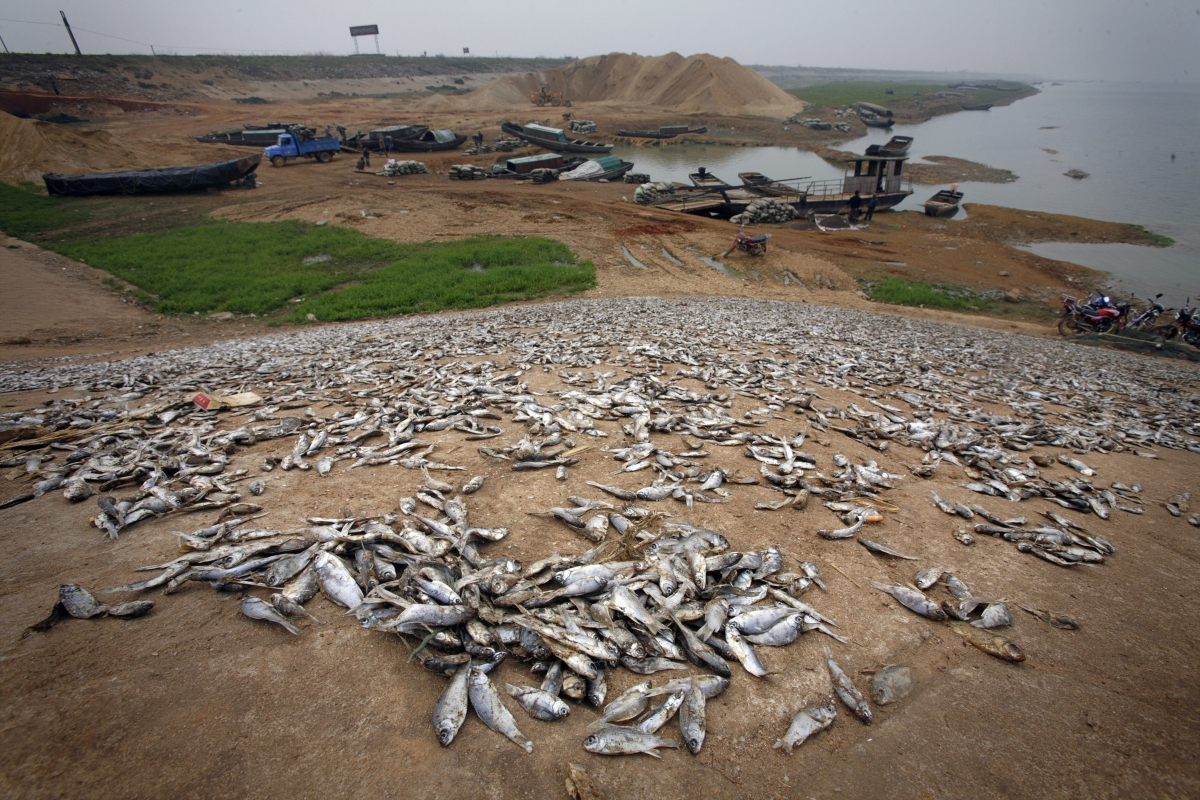 Dead fish are seen on the banks of the drought affected lake of Poyang.