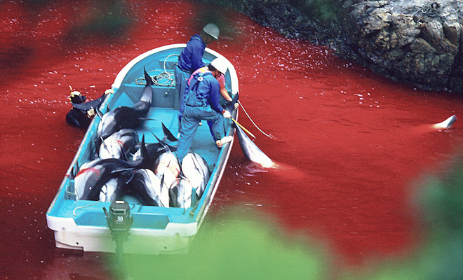 dolphin slaughter in japan Dolphin slaughter in japan the dolphin industry in the past, present, and future has changed dramatically through the last century in the past, the industry was.
