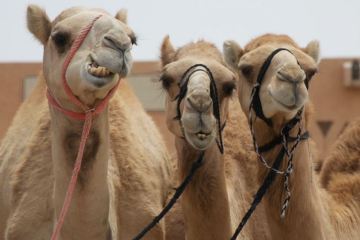 Camel sacrifice video dailymotion
