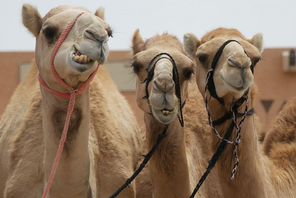 http://d.ibtimes.co.uk/en/full/1361348/camel.jpg?w=660&amph=441&ampl=50&ampt=40