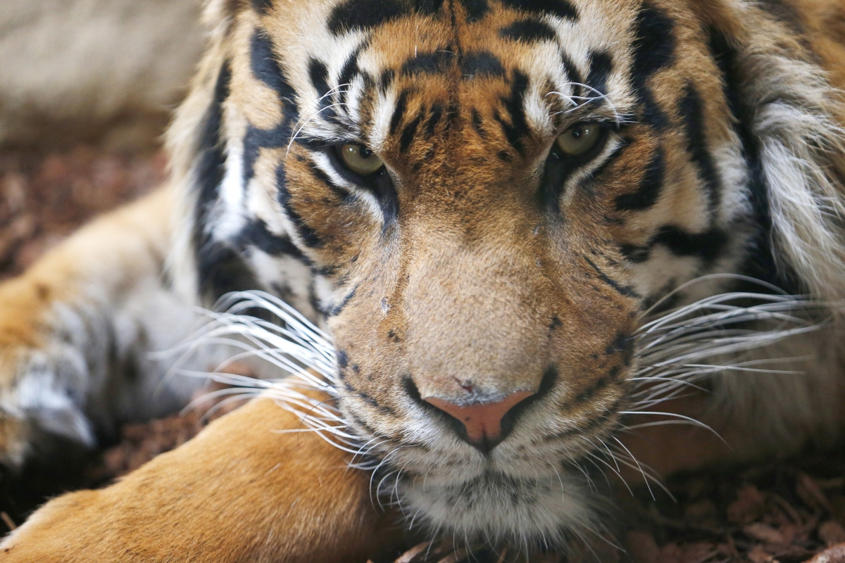 Woman had sex with a tiger in porn stash allegedly found on Adrian Heath's computer