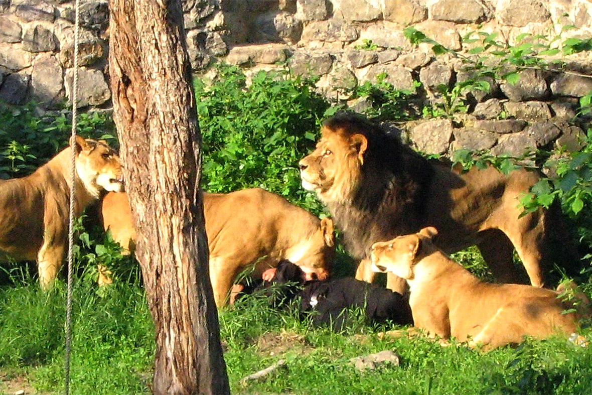 Lion Attack Victim The victim, who crept into the