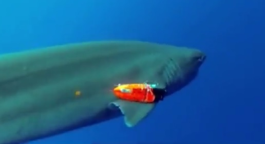 Shark with tracking device Hawaii
