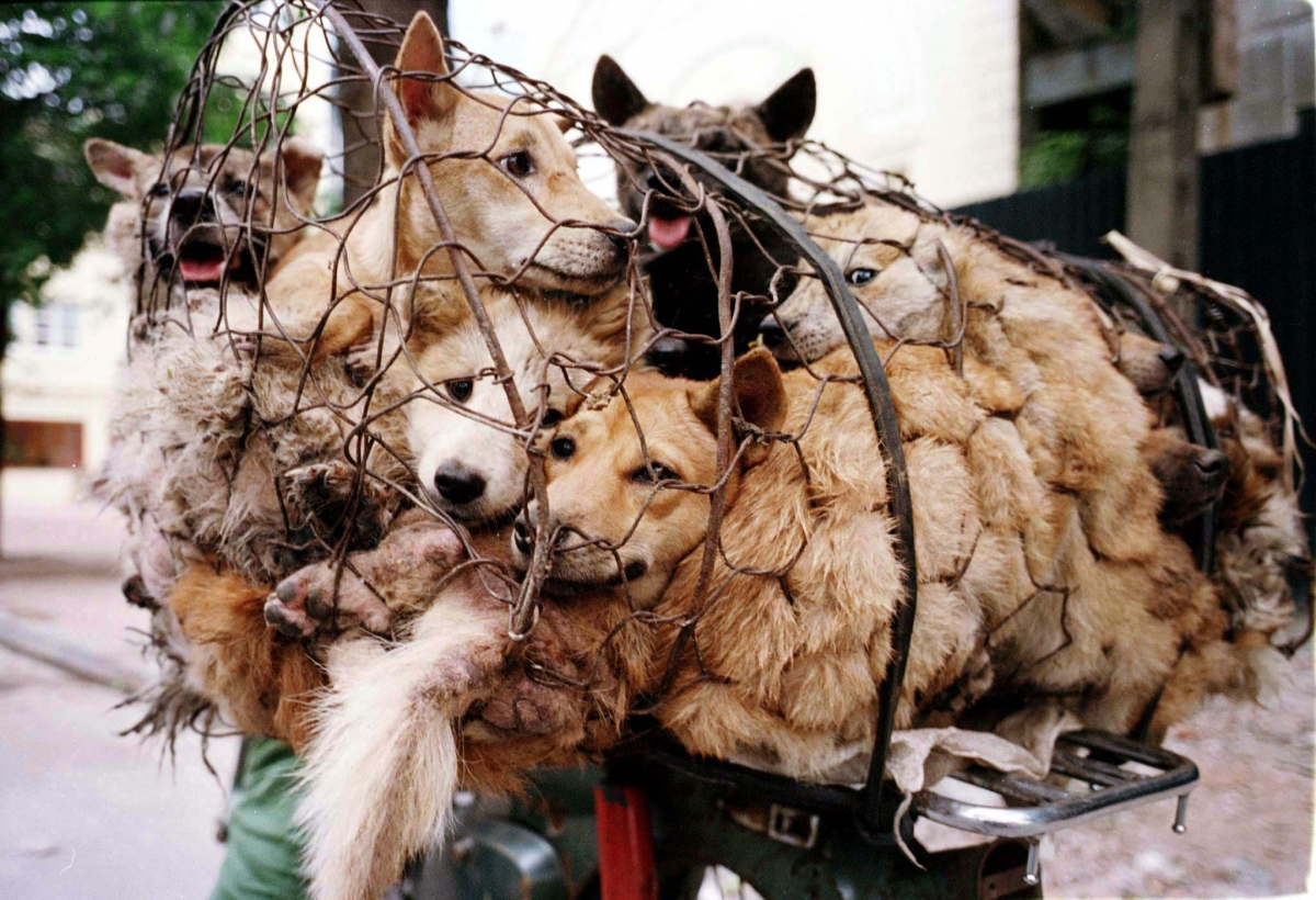 China Dog Meat Festival 2014: 10,000 Dogs to be Slaughtered at Yulin