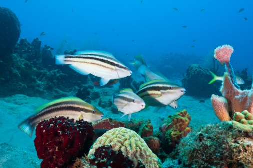 Caribbean coral reefs 39 to disappear due to loss of for Caribbean reef fish