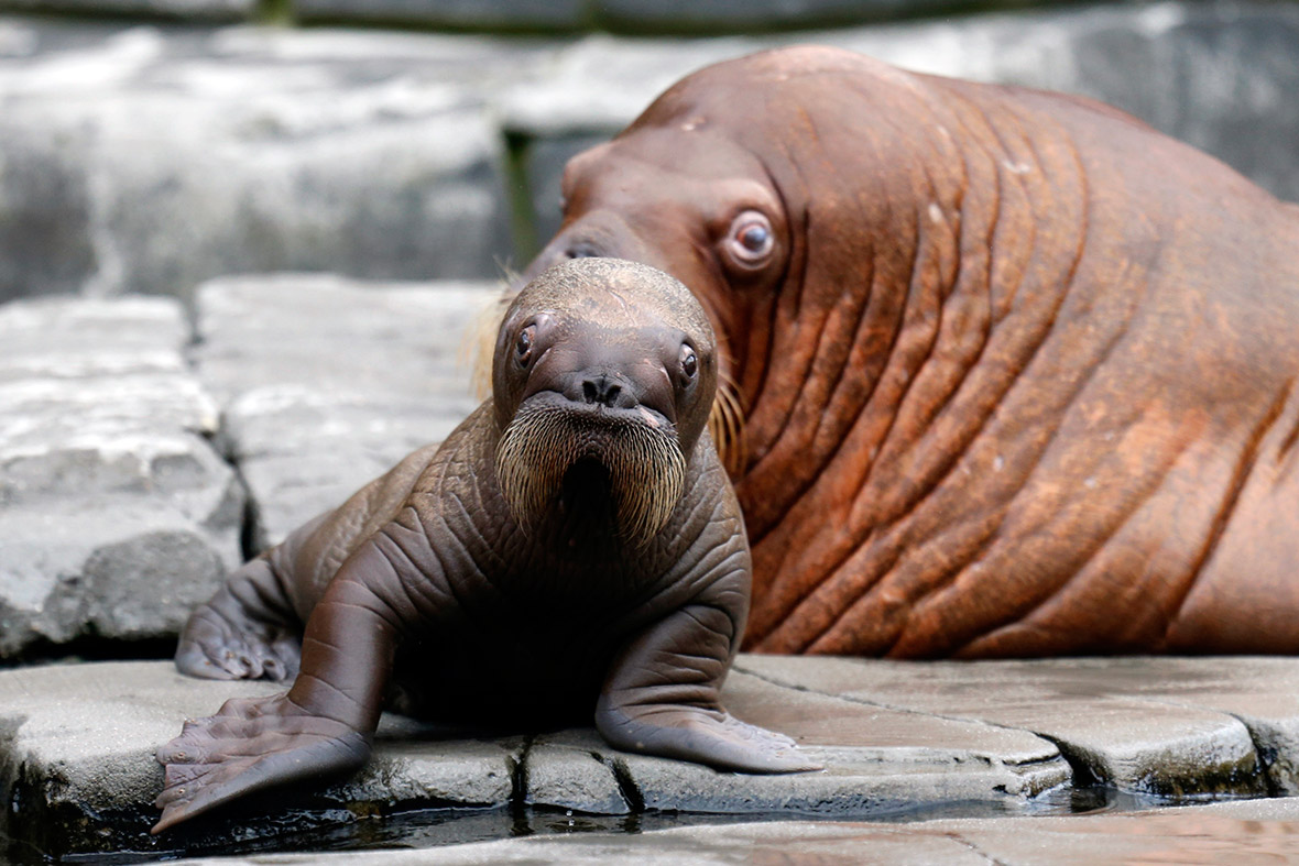 a Baby Walrus is Watched Over
