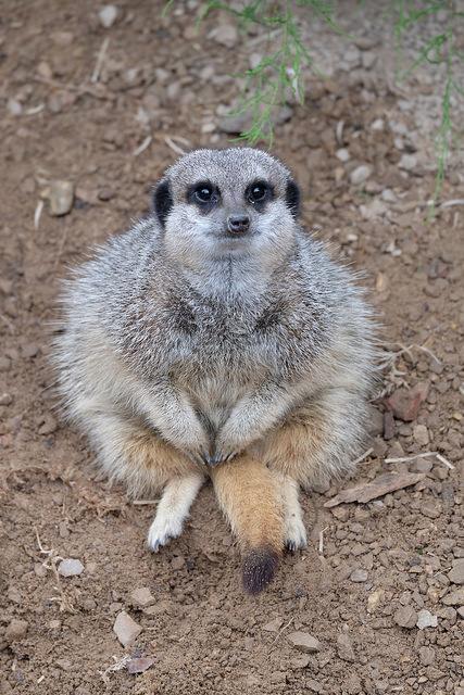 Still Think They're Cute? Sinister Meerkats Banish Females ...