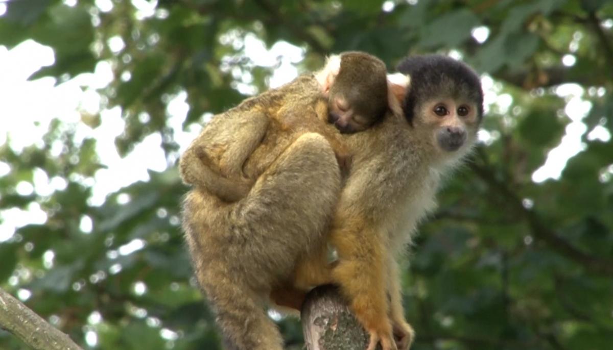 Miniscule Monkey Born at London Zoo