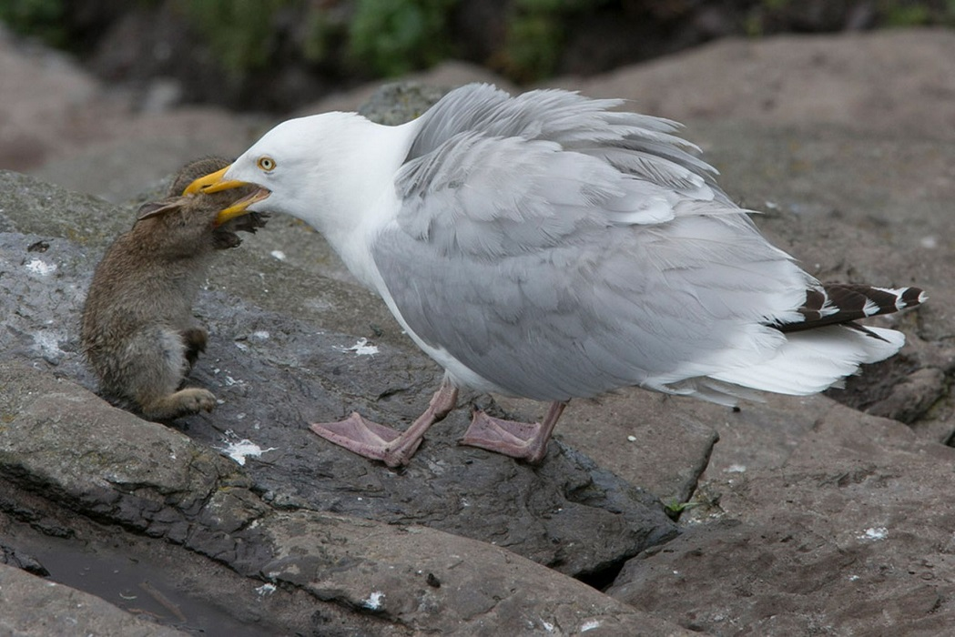 Seagull eating bird 2