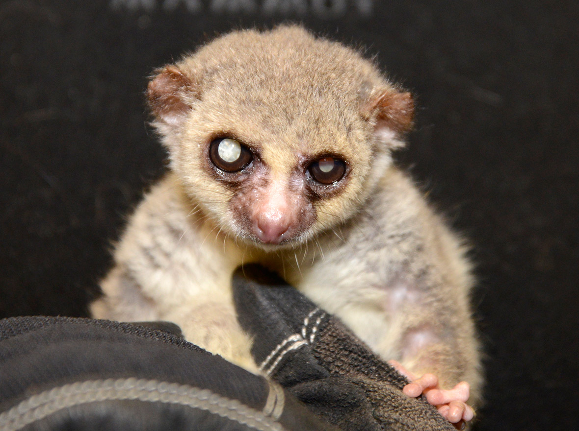 Lemurs: Everything You...