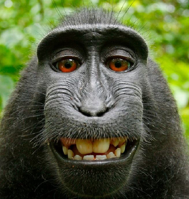 monkey selfie wikipedia