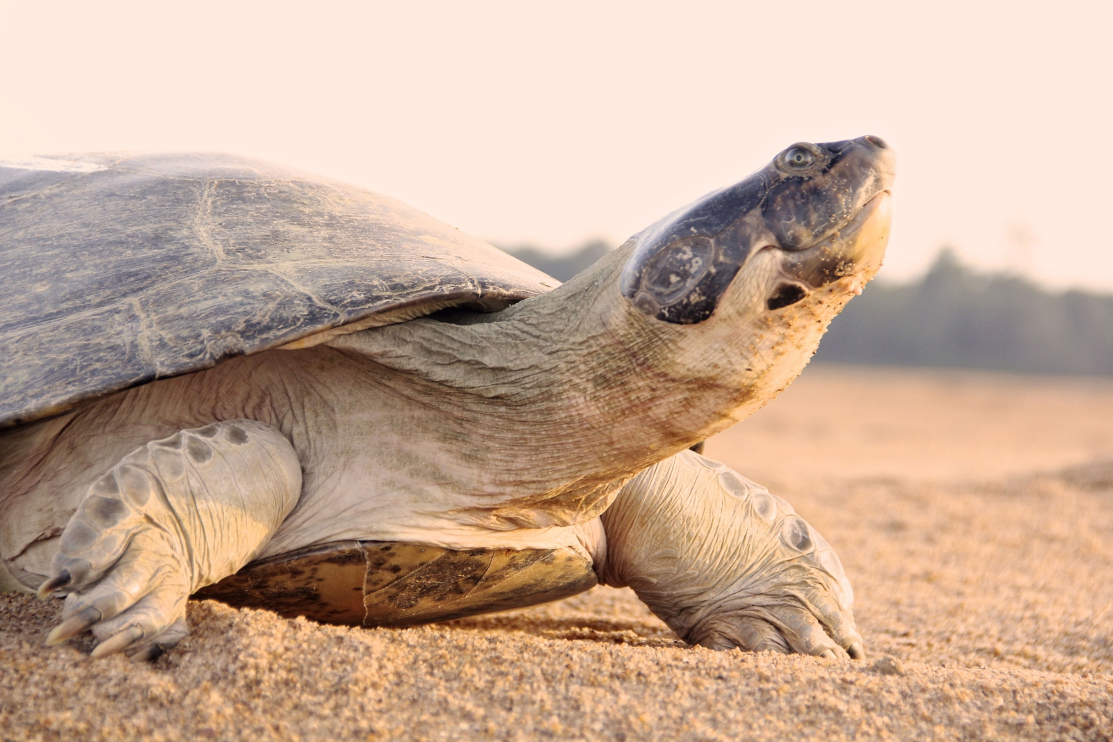 giant south american river turtle