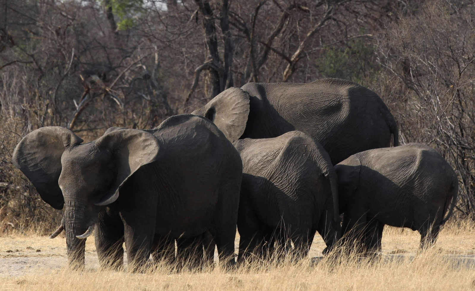 AFRICA.ELEPHANTS