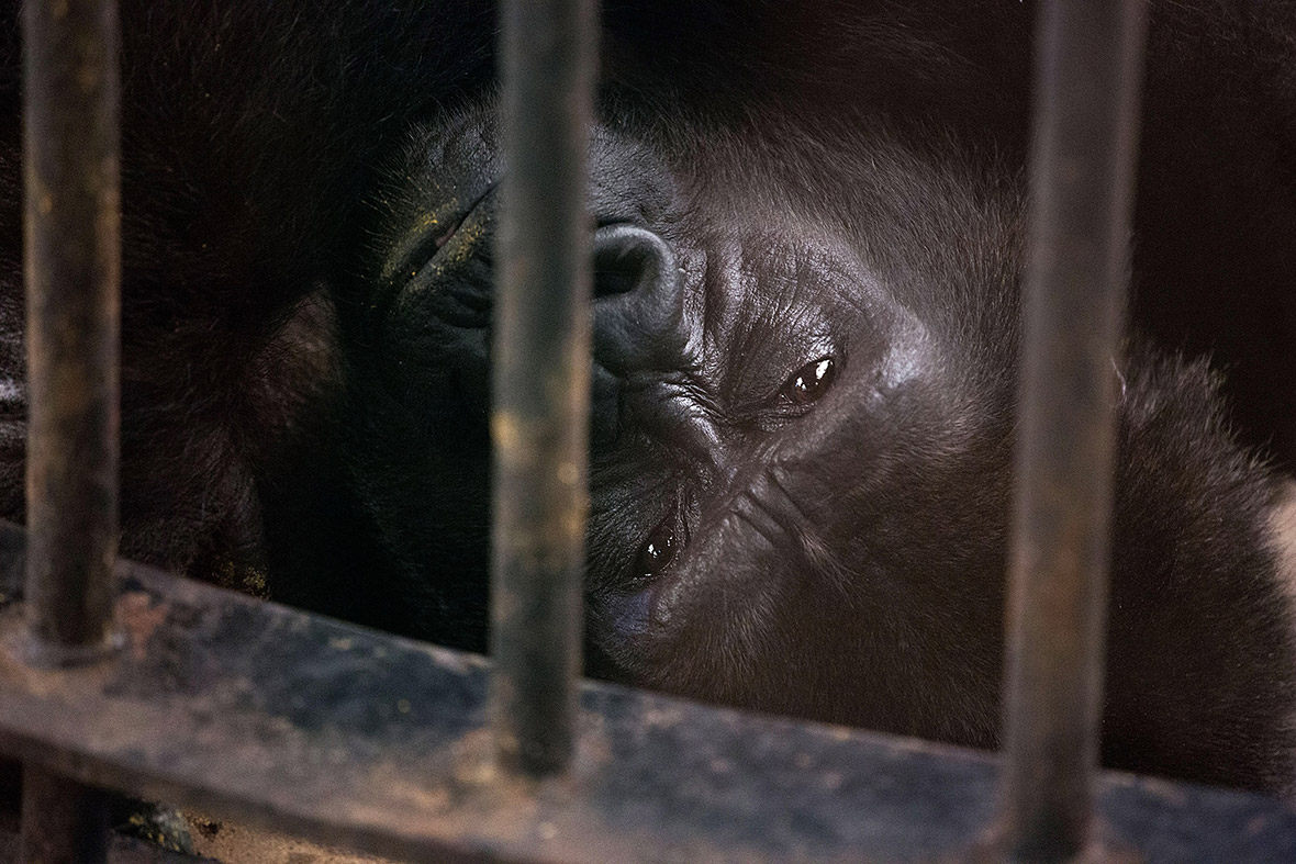 Thailand Campaign To Free Gorilla From High Rise Zoo In