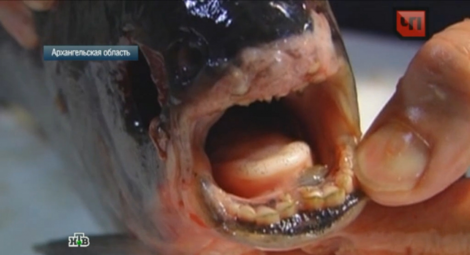 Monster like fish with 39 human teeth 39 caught in russian river for Pacu fish teeth