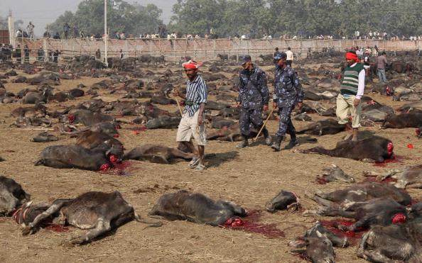 O maior do mundo: 500 mil animais serão sacrificados à deusa Gadhimai durante festival no Nepal