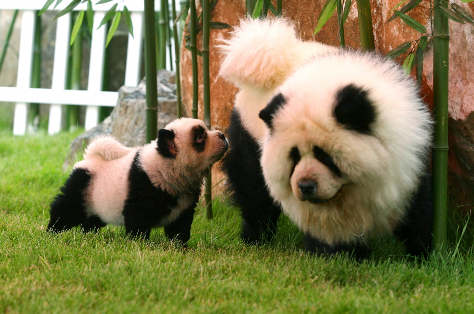 The practice of dying chow chow dogs to look like pandas to attract