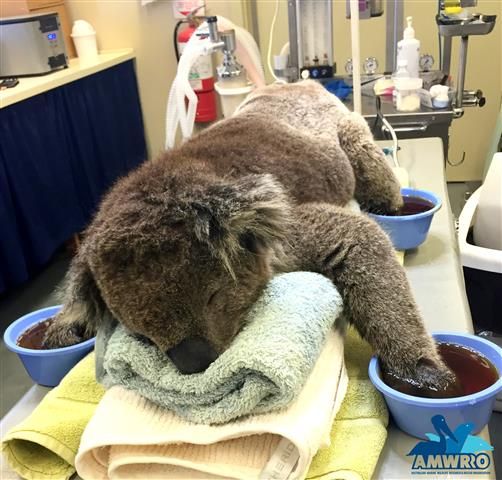 Koala mitten appeal gets huge response after Australia bushfires burn their paws