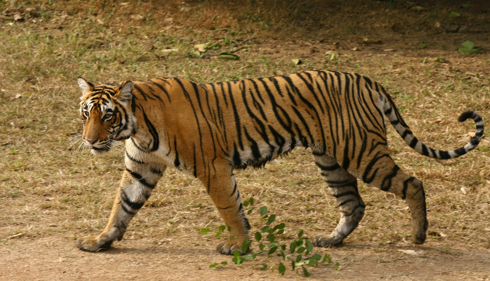 the tiger Intimate pictures and ground-breaking footage of the tiger, its cubs and habitat.
