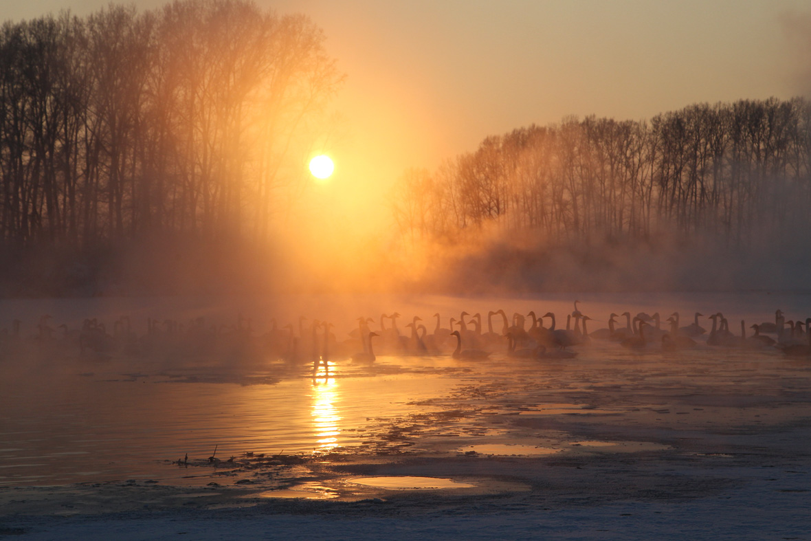 28 Best Swan lake images | Swans, Swan lake, Swan