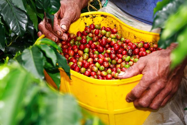 Imagenes De Cultivo De Cafe En Colombia