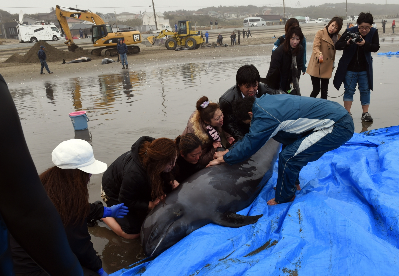 Beached dolphins - photo#16
