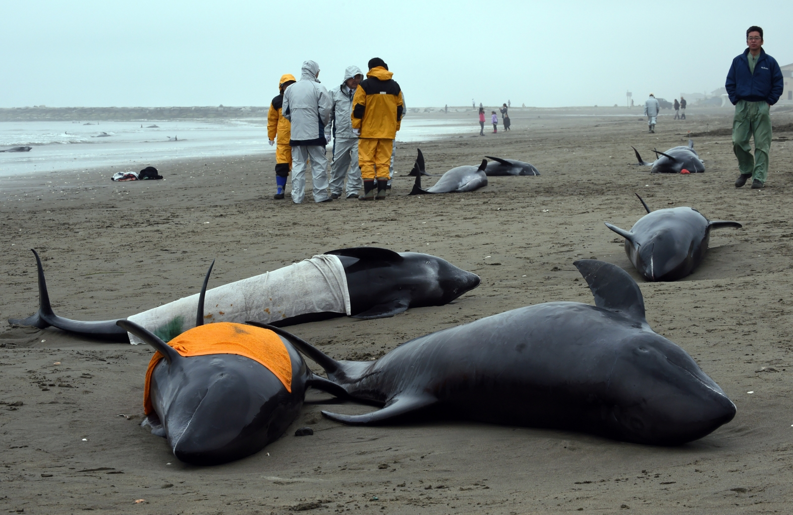 Beached dolphins - photo#8
