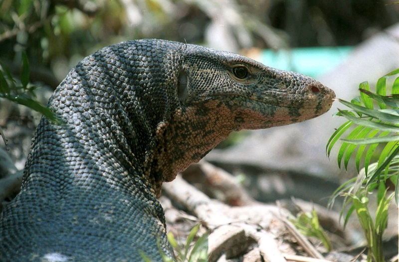 Lizards Eating Cats Cat-eating Nile Monitor