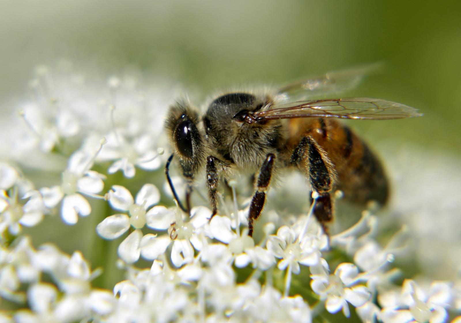 Harm Wild Bees Too
