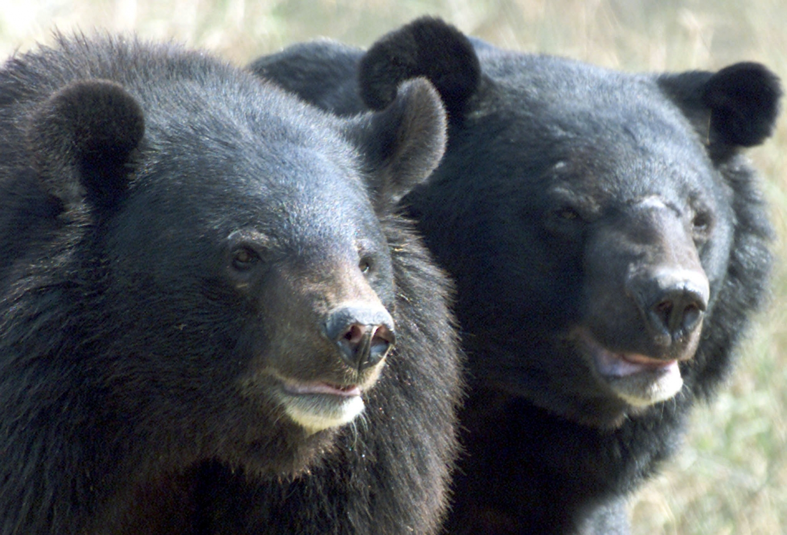 Asian Black Bears Mistaken For Puppies For Two Years By