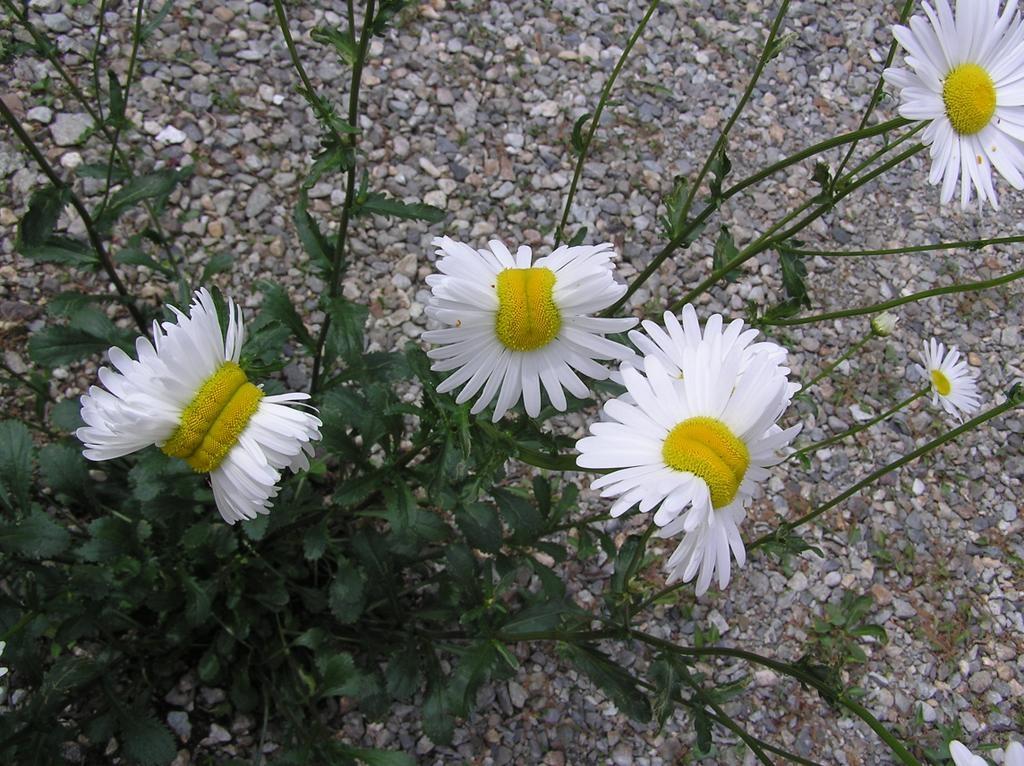 Fukushima mutant flowers and deformed daisies