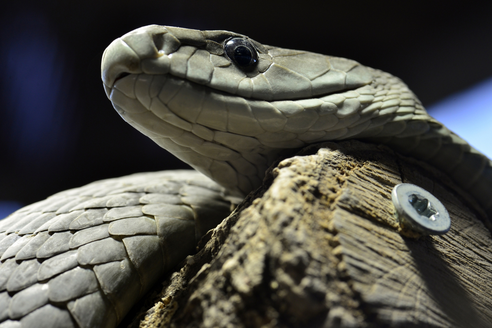 the snake attack For more than 20 years, musyoka has been treating snake bite victims using  drugs available in chemists saving lives of victims who would.