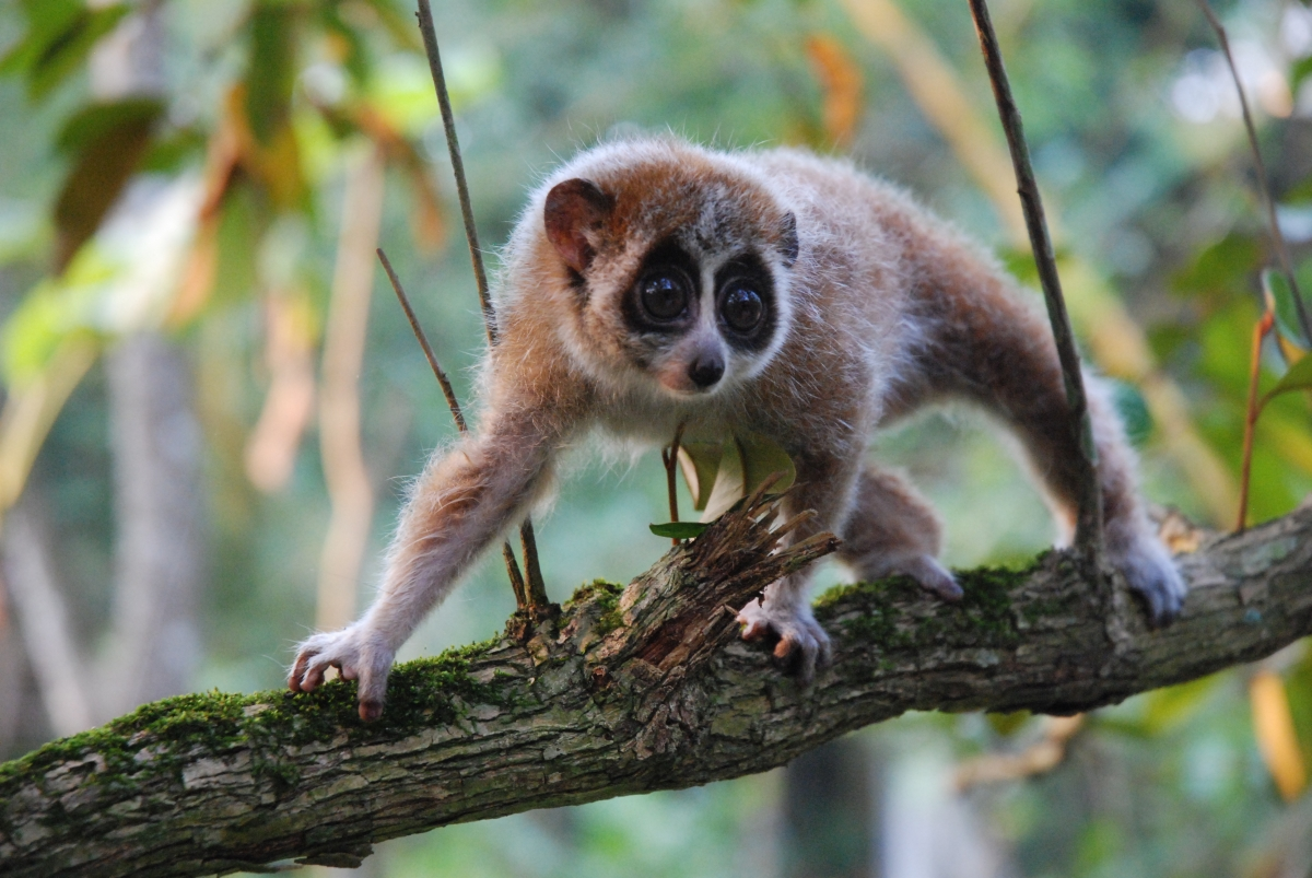 Experts discover pygmy slow loris is first primate outside ...