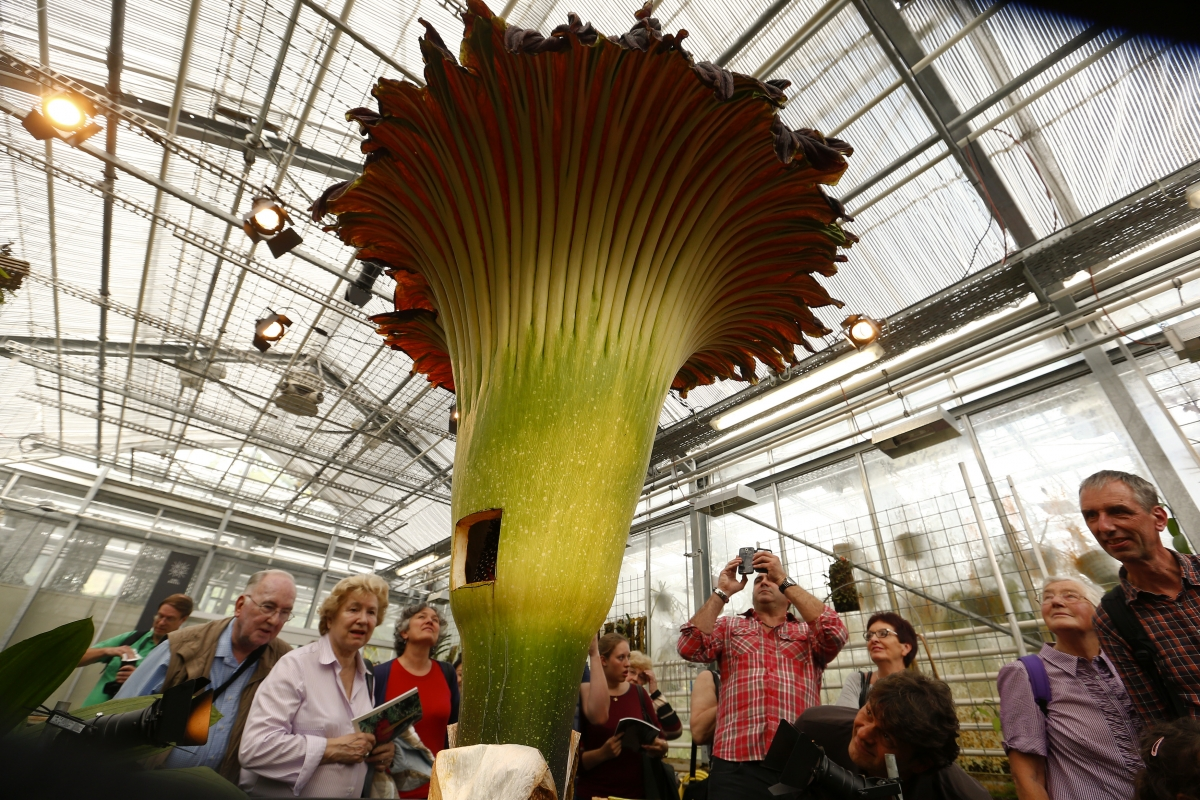 Smelliest Corpse Flower Blooms In Adelaide S Mount Lofty