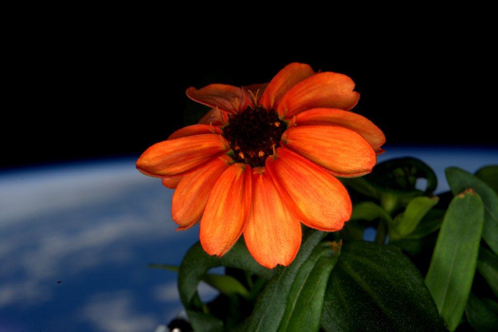 NASA shares a photo of the first blooming zinnia in space