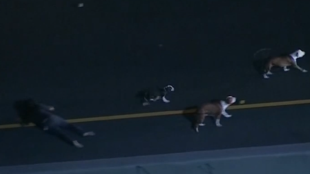 Police chase dogs