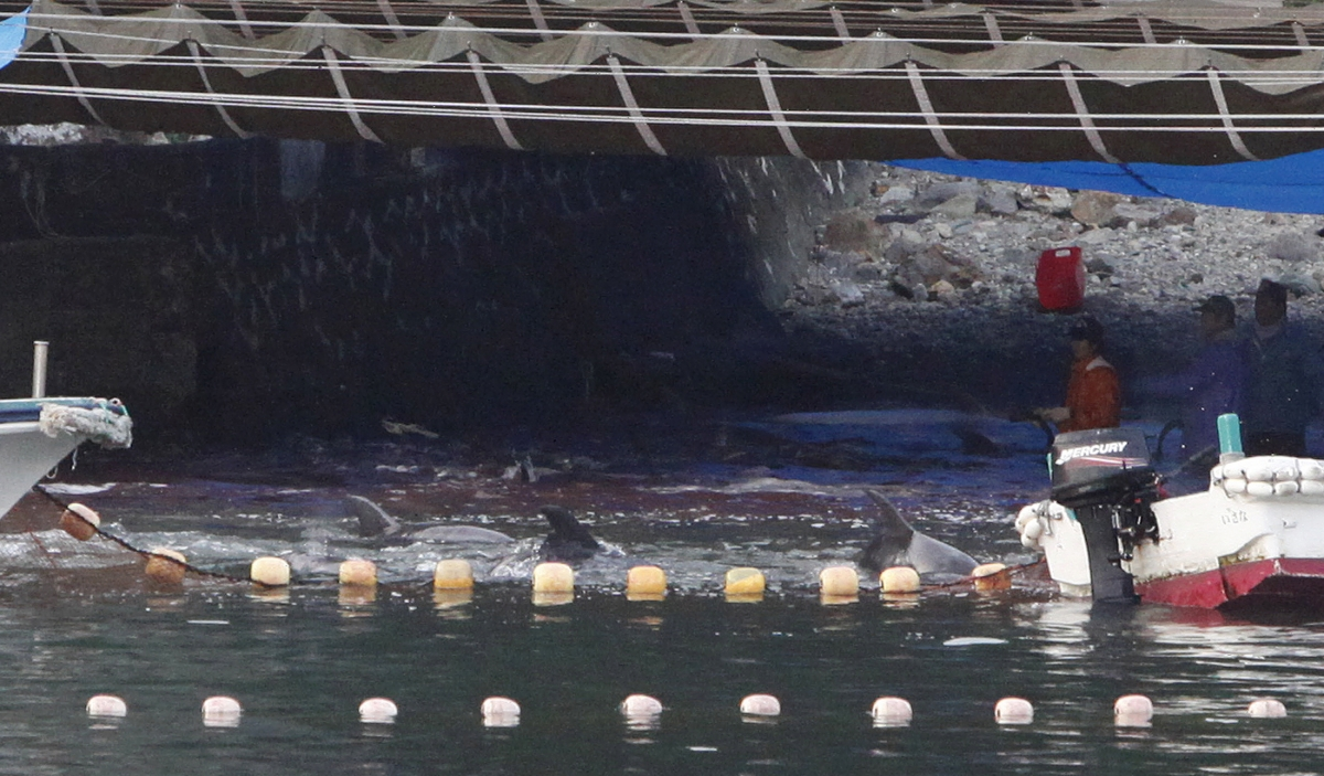 dolphin slaughter Today, as japanese fishers began stabbing dolphins with spears and cutting  their throats with knives, peta members, along with members of.