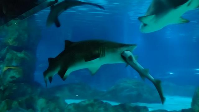 Shark eats a shark