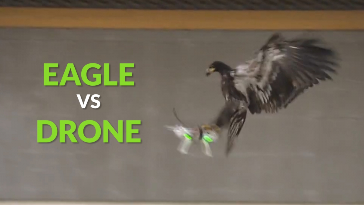Technology Eagle vs drone: Dutch police are training birds of prey to take down illegal drones