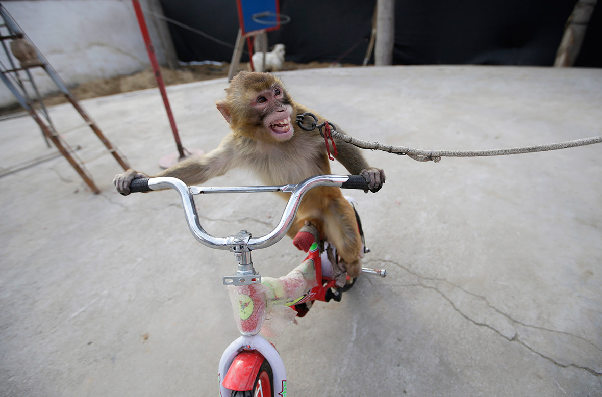 ... photos of performing monkeys as they train for the Lunar New Year