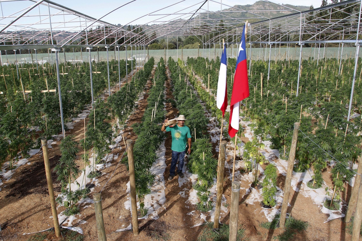 pot farm chile