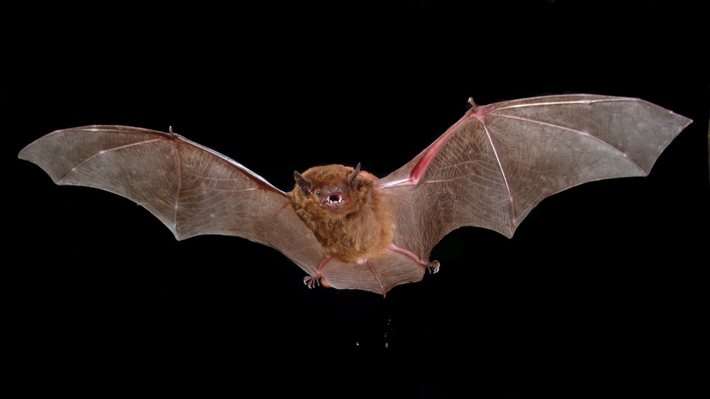 Bat Super Immunity Could Help Fight Off Diseases Like