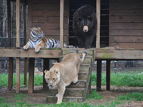 Big Cats Lions Video