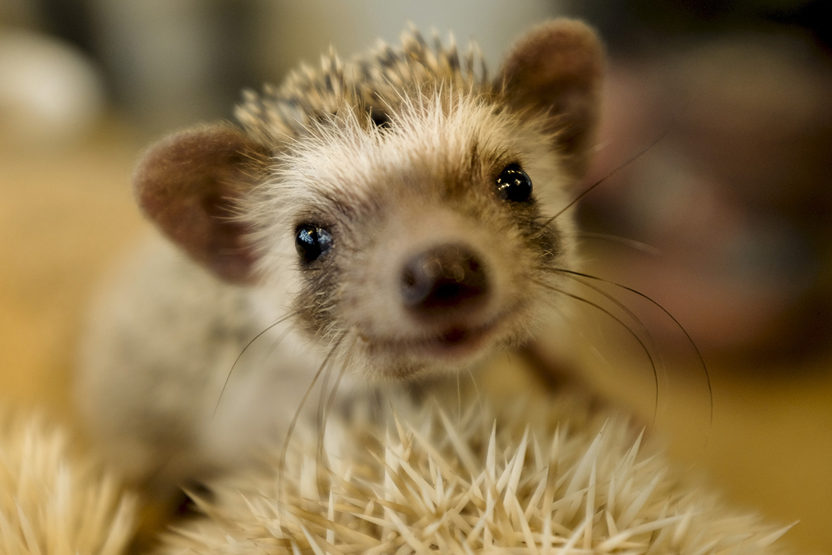 Photos Of Tokyo 39 S Harry Hedgehog Cafe Where Customers Can