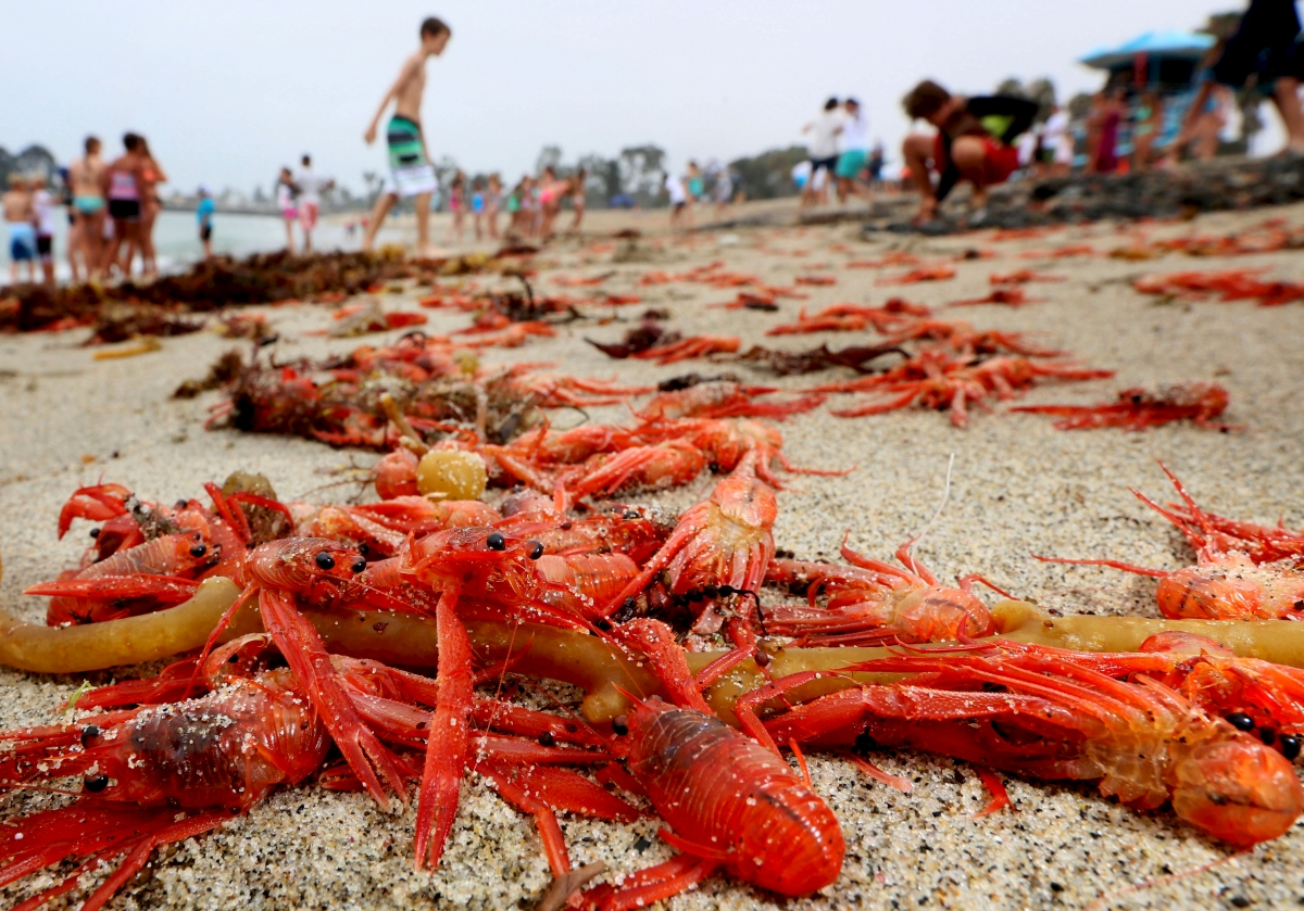 tides of dead and dying red crabs inundate california beaches