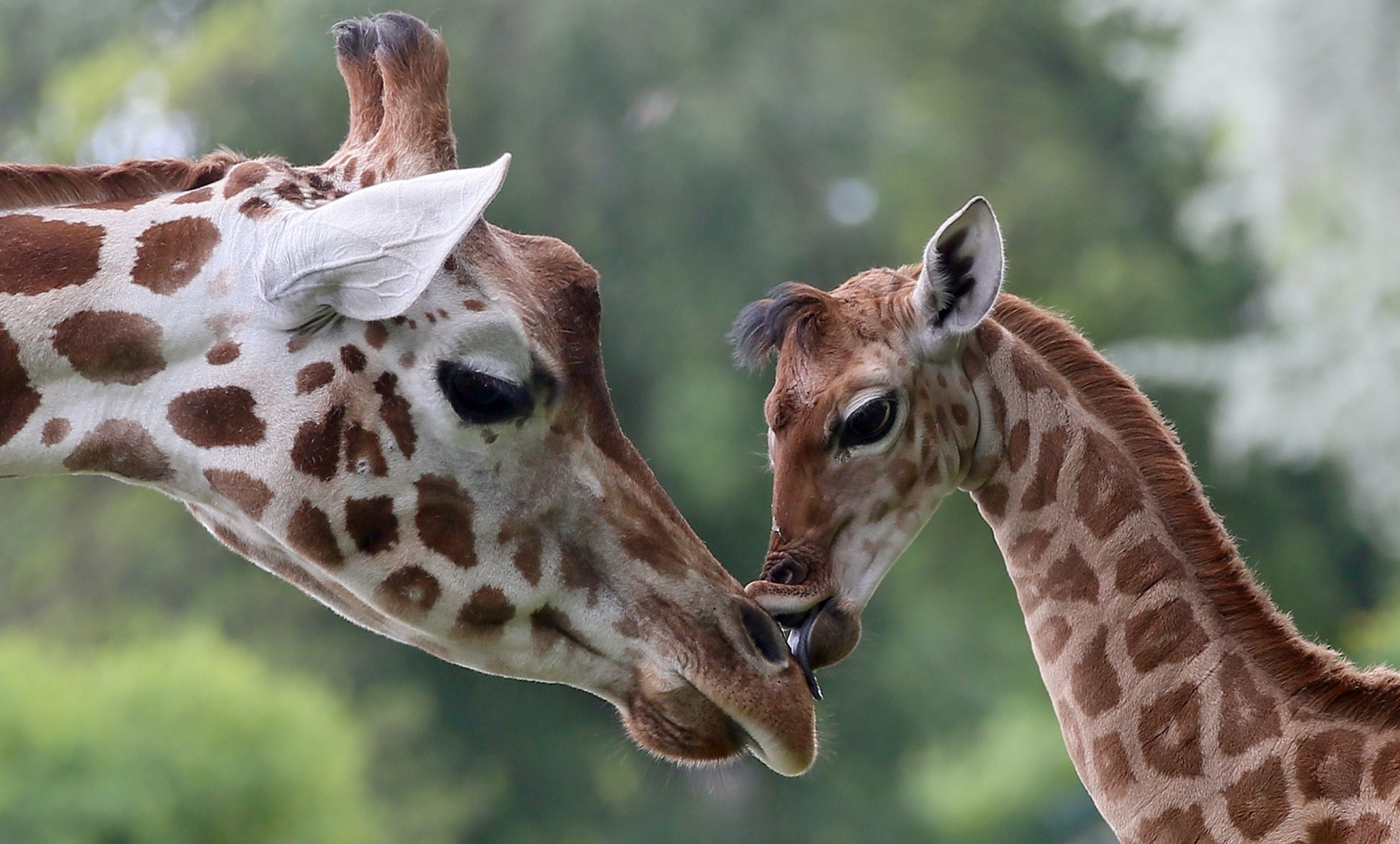red list giraffes classed as vulnerable to u0027silent extinction u0027 in