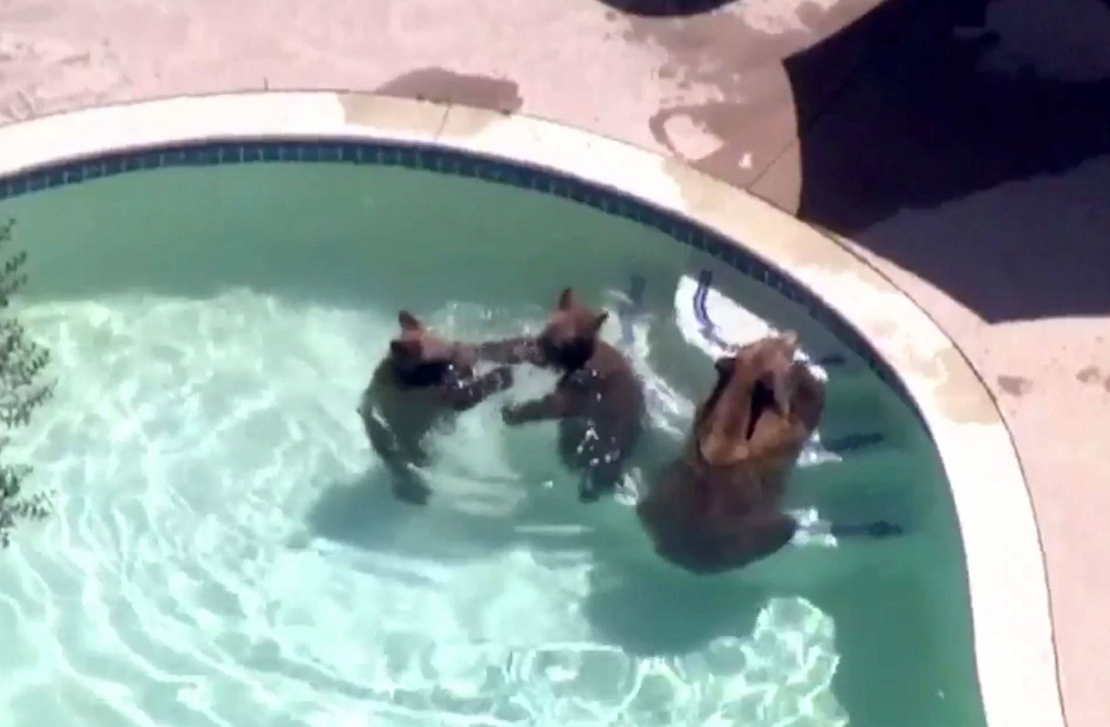 Bear And Two Cubs Chilling In California Pool Become Social Media Honeys