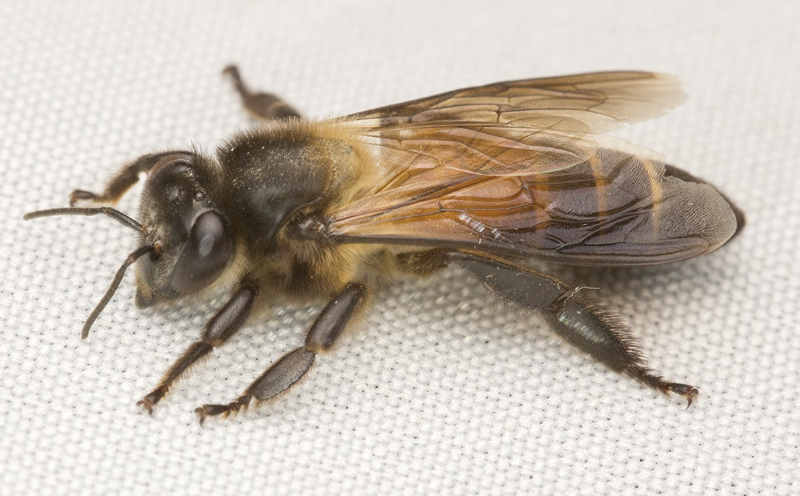 India Bee Stings Result In A Heart Attack