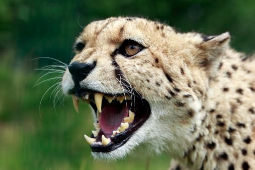 watch  four male  u0026 39 gangster u0026 39  cheetahs attack female in rough courting ritual
