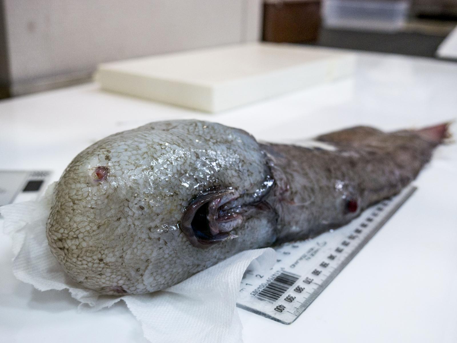 Weird 'faceless' fish found in dark cold depths of ...